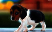 Cute_puppy_wallpaper_72013